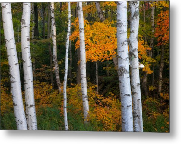Birch Tree Pan Metal Print