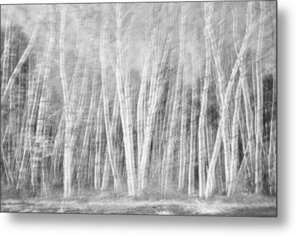 Birches Metal Print by David Pratt