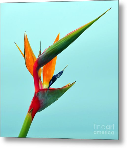 Bird Of Paradise Against Aqua Sky Metal Print