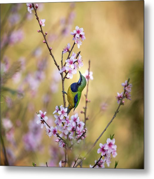 Bird Whispering To The Peach Flower Metal Print