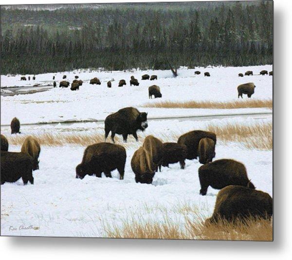 Bison Cows Browsing Metal Print