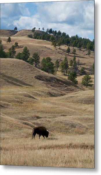Bison Grazing Custer State Park South Metal Print