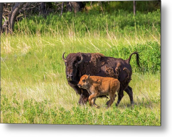 Bison Herd With Calves In Custer State Metal Print