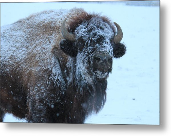 Bison In Snow Metal Print