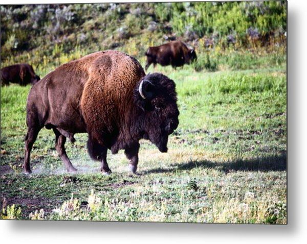 Bison In Yellowstone Metal Print by Sophie Vigneault