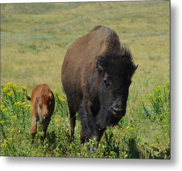 Bison Mother And Calf Metal Print by Dakota Light Photography By Dakota