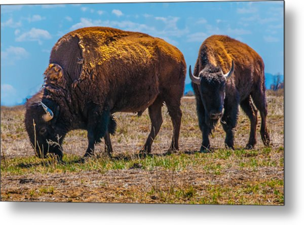 Bison Pair_1 Metal Print