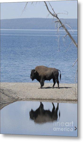 Bison Reflecting Metal Print by Bob Dowling