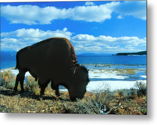 Bison Yellowstone Metal Print