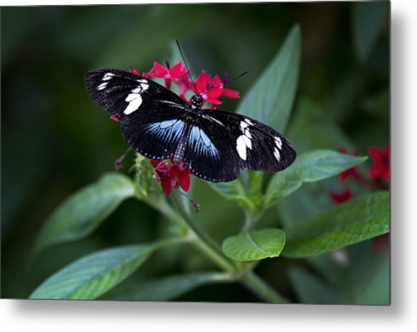 Black And Blue Butterfly Metal Print