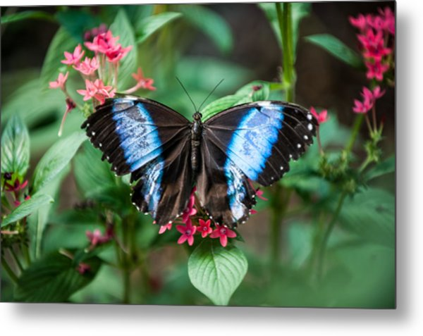 Black And Blue Wings Metal Print