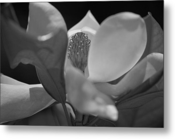 Black And White Magnolia Metal Print