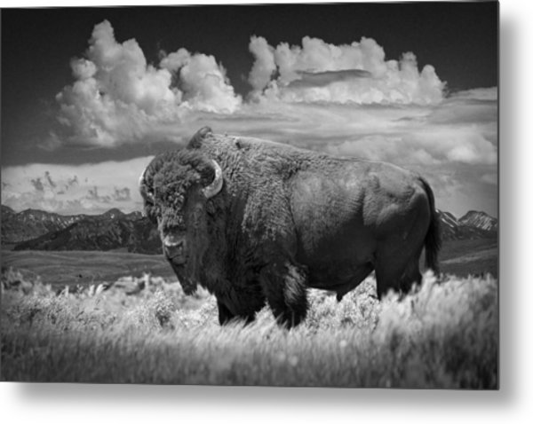 Black And White Photograph Of An American Buffalo Metal Print