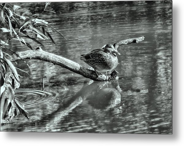 Black And White Presentation Of  Female Mallard Duck Sitting On A Log Near And Reflected In Water Metal Print