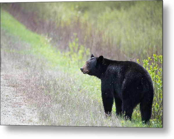 Black Bear 3 Metal Print by Andy Fung