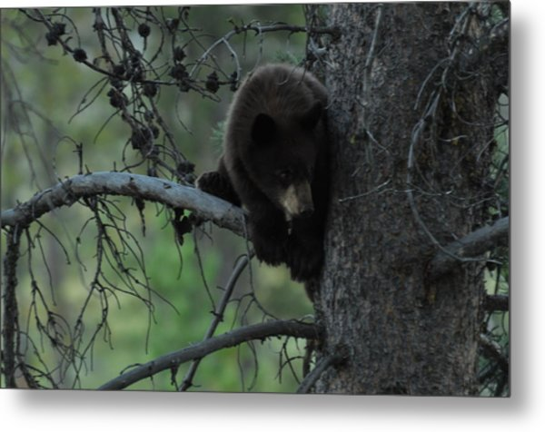 Black Bear Cub In Tree Metal Print