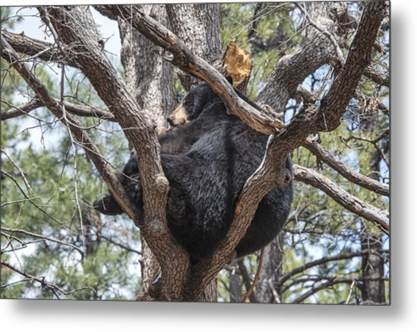 Black Bear In A Tree Metal Print