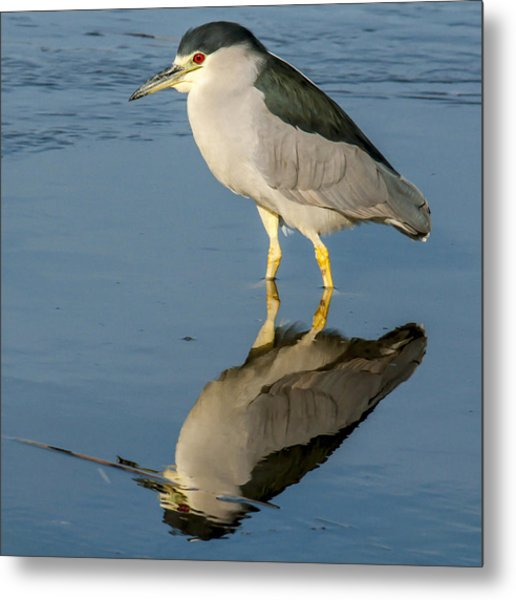 Black Capped Night Heron 6531 Metal Print