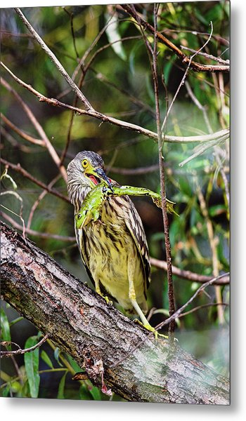 Black-crowned Night Heron (nycticorax Metal Print