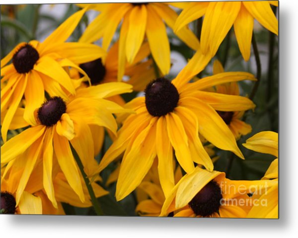 Black Eye Susan Flower Metal Print