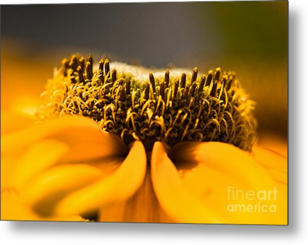 Black Eyed Susan Setting Seed Metal Print