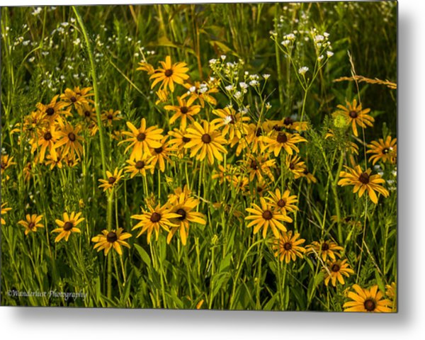 Black Eyed Susans Metal Print by Paul Herrmann