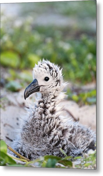 Black-footed Albatross / Phoebastria Metal Print