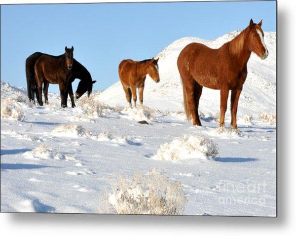 Black N' Brown Mustangs In Snow Metal Print