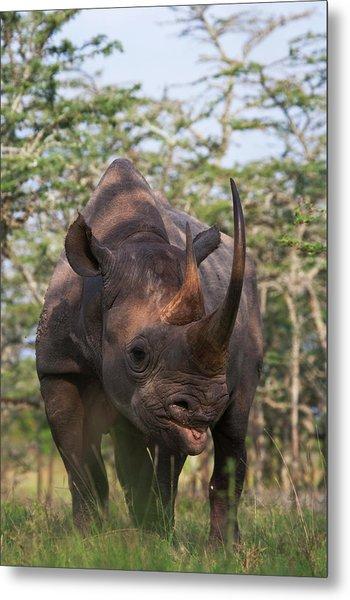Black Rhino (diceros Bicornis Metal Print