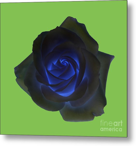 Black Rose With Vibrant Blue Petals At Centre On Green Metal Print by Rosemary Calvert