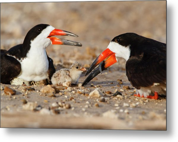 Black Skimmer And Chick Metal Print