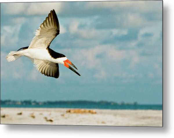 Black Skimmer Bird Flying Close Metal Print