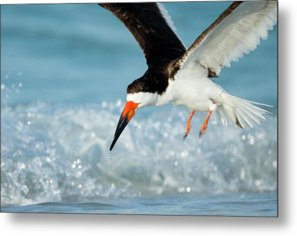 Black Skimmer Coming In For A Landing Metal Print
