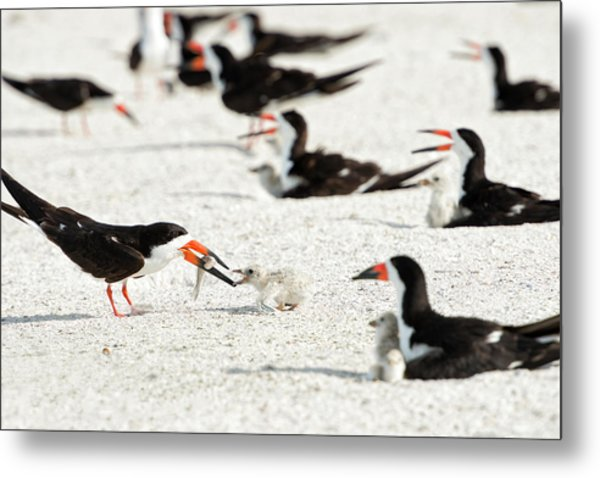 Black Skimmer Feeding Chick (large Metal Print