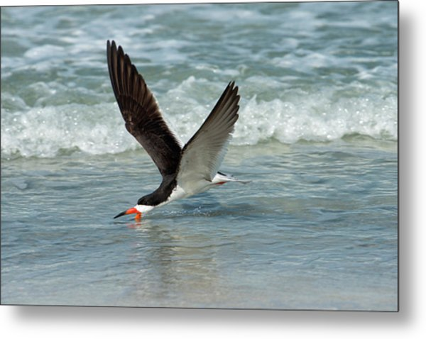Black Skimmer Feeding In Water Flying Metal Print