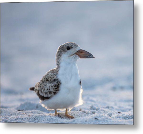 Black Skimmer Fledgling On Beach Metal Print