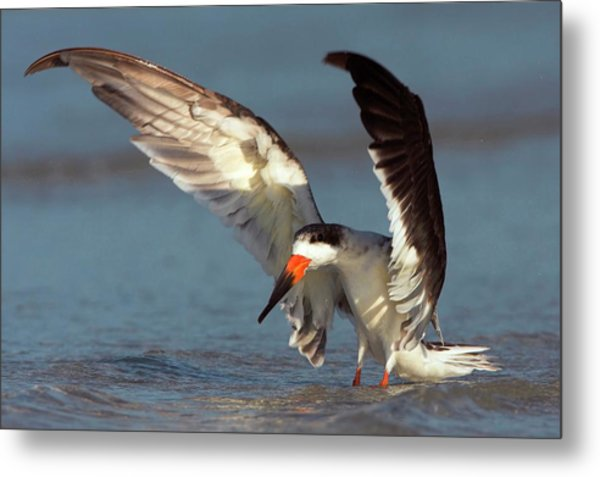 Black Skimmer Landing On Water Metal Print