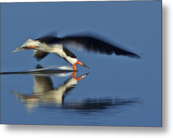 Black Skimmer  Mg_3882 Metal Print
