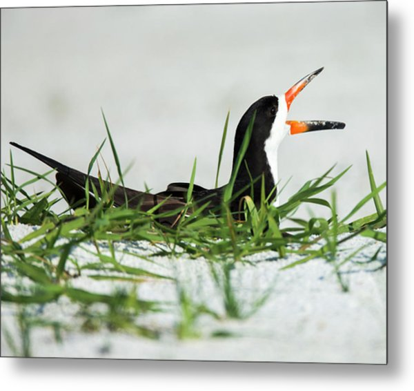 Black Skimmer On Nest Being Alert Metal Print