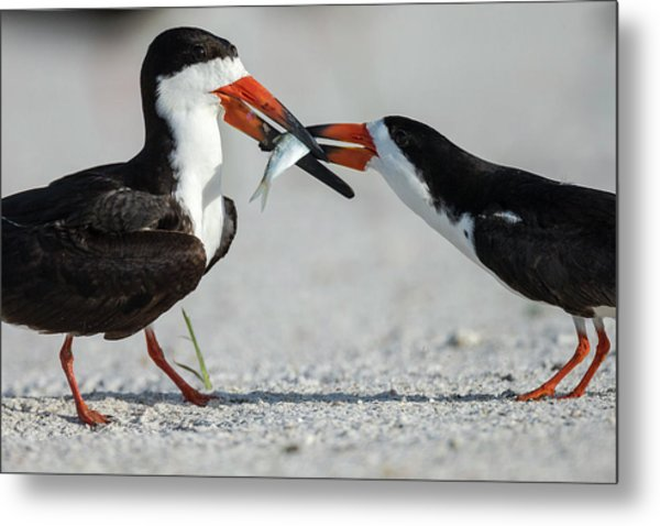 Black Skimmer Protecting Minnow Metal Print