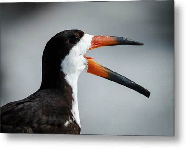 Black Skimmer Territorial Behavior Metal Print