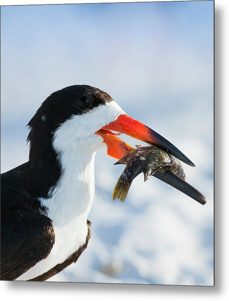 Black Skimmer With Food, Rynchops Metal Print