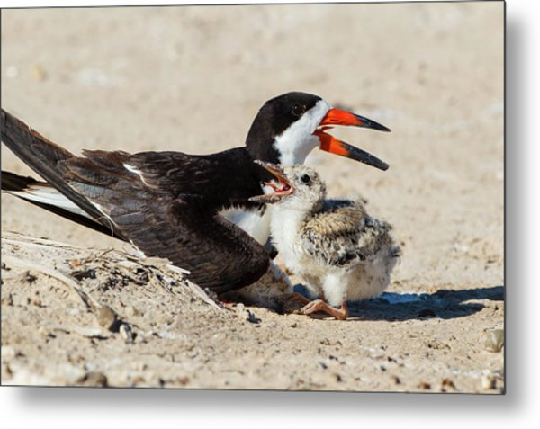Black Skimmers At Nesting Colony Metal Print