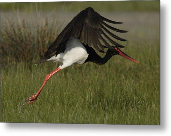 Black Stork Taking Off. Metal Print