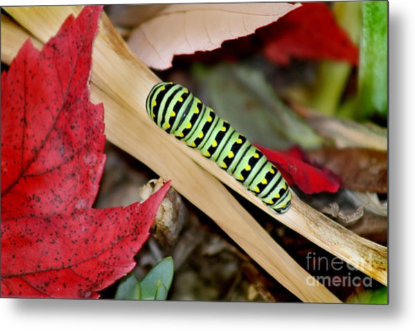 Black Swallowtail Butterfly Caterpillar Metal Print