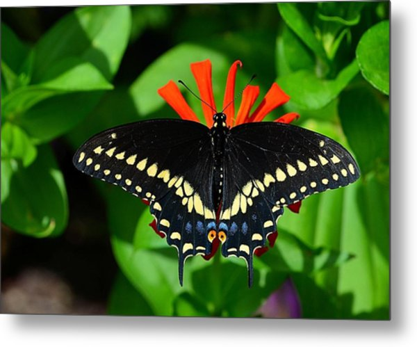 Black Swallowtail Butterfly Metal Print