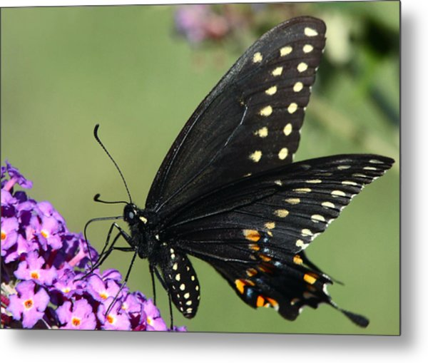 Black Swallowtail Metal Print by Theo