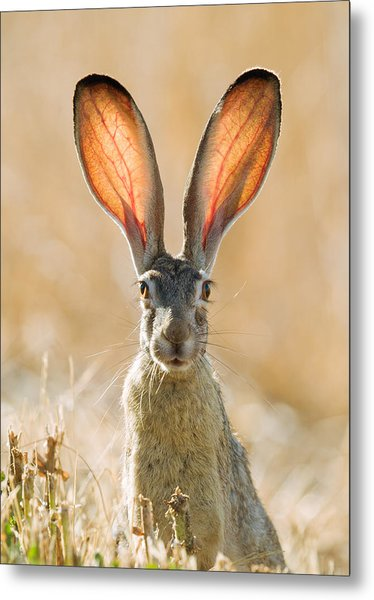 Black-tailed Hare Davis California Metal Print