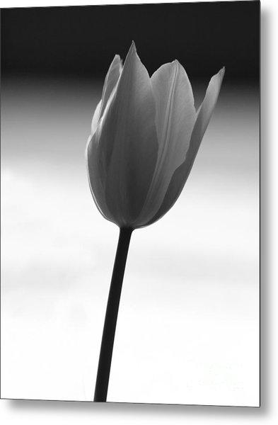 Black Tulip Metal Print by Carlos Magalhaes