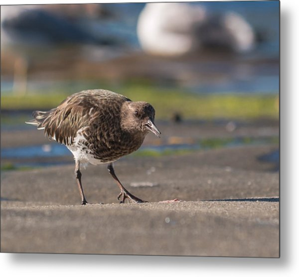 Black Turnstone Metal Print